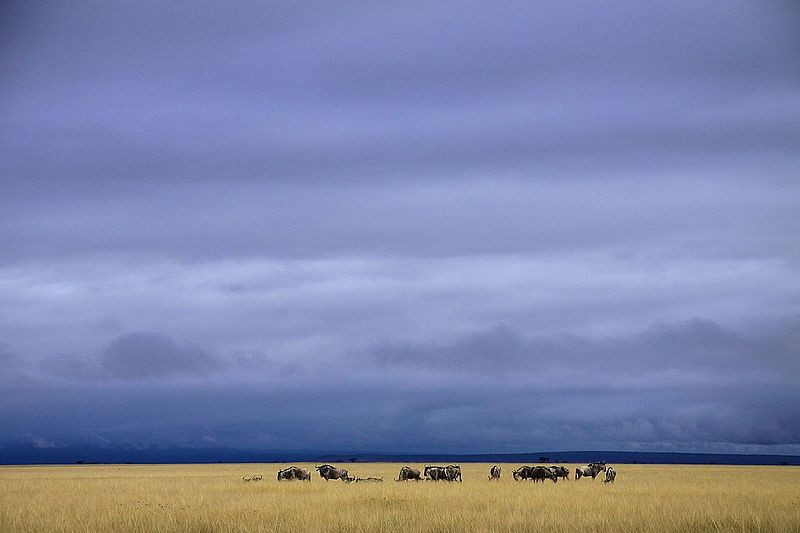 Wildebeest_herd_in_Amboseli_National_Park.jpeg